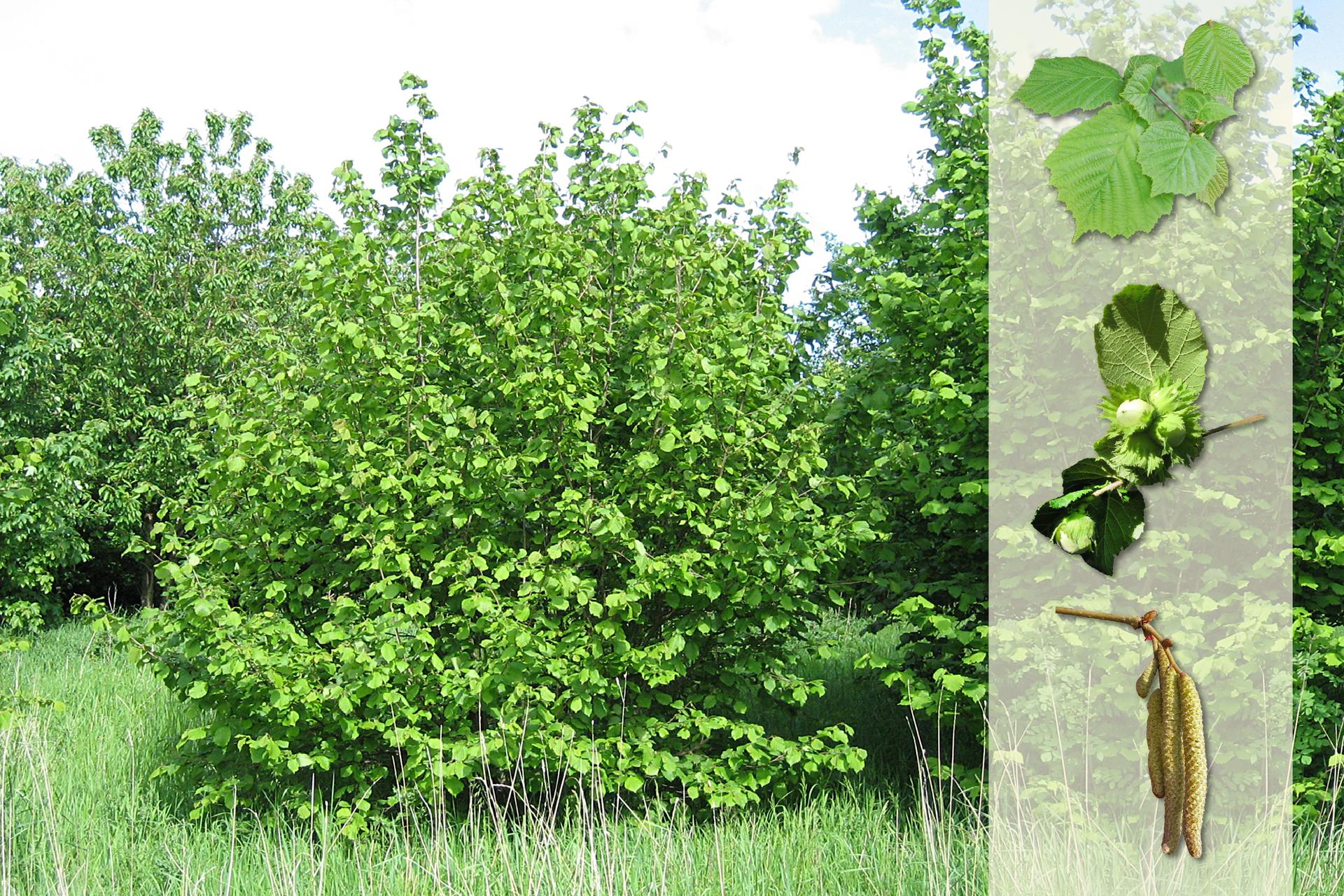 Fotografia przedstawia trzy krzewy leszczyny na łące. Zprawej strony nałożony jaśniejszy pasek zfotografiami. Ugóry szerokie liście. Wśrodku zielone, niedojrzałe owoce – orzechy laskowe. Udołu gałązka zwalcowatymi, brązowymi, zwisającymi kwiatostanami.