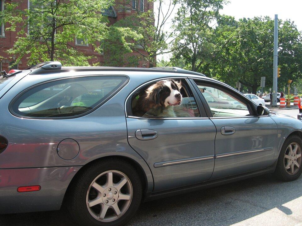 Poziome prostokątne zdjęcie przedstawia dużego psa waucie. Słoneczny dzień. Ulica wmieście. Na pierwszym planie duży srebrny samochód kombi. Auto prawym bokiem do obserwatora. Tył auta po lewej stronie zdjęcia. Prawe tylne okno pasażera otwarte do połowy. Wotwartym oknie wysunięta głowa psa. Wokół oczu brązowe plamki, uszy brązowe opadające. Pysk duży biały, zakończony czarnym nosem. Wtle budynek, latarnie, drzewa wzdłuż ulicy. Drzewa pokryte zielonymi liśćmi.