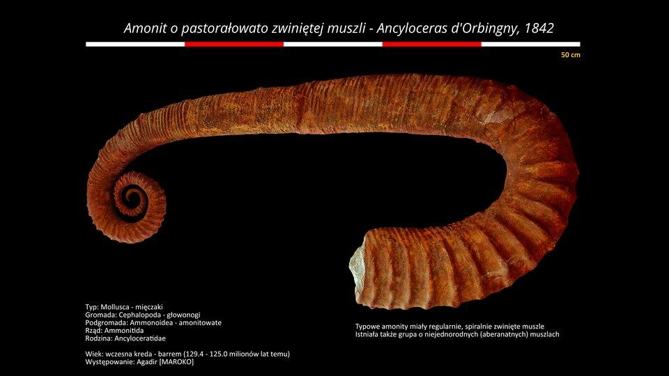 Na zdjęciu amonit opastorałowato zwiniętej muszli. Kolor brązowy. Na górze podziałka. Amonit ma pół metra długości. Tło zdjęcia czarne.
