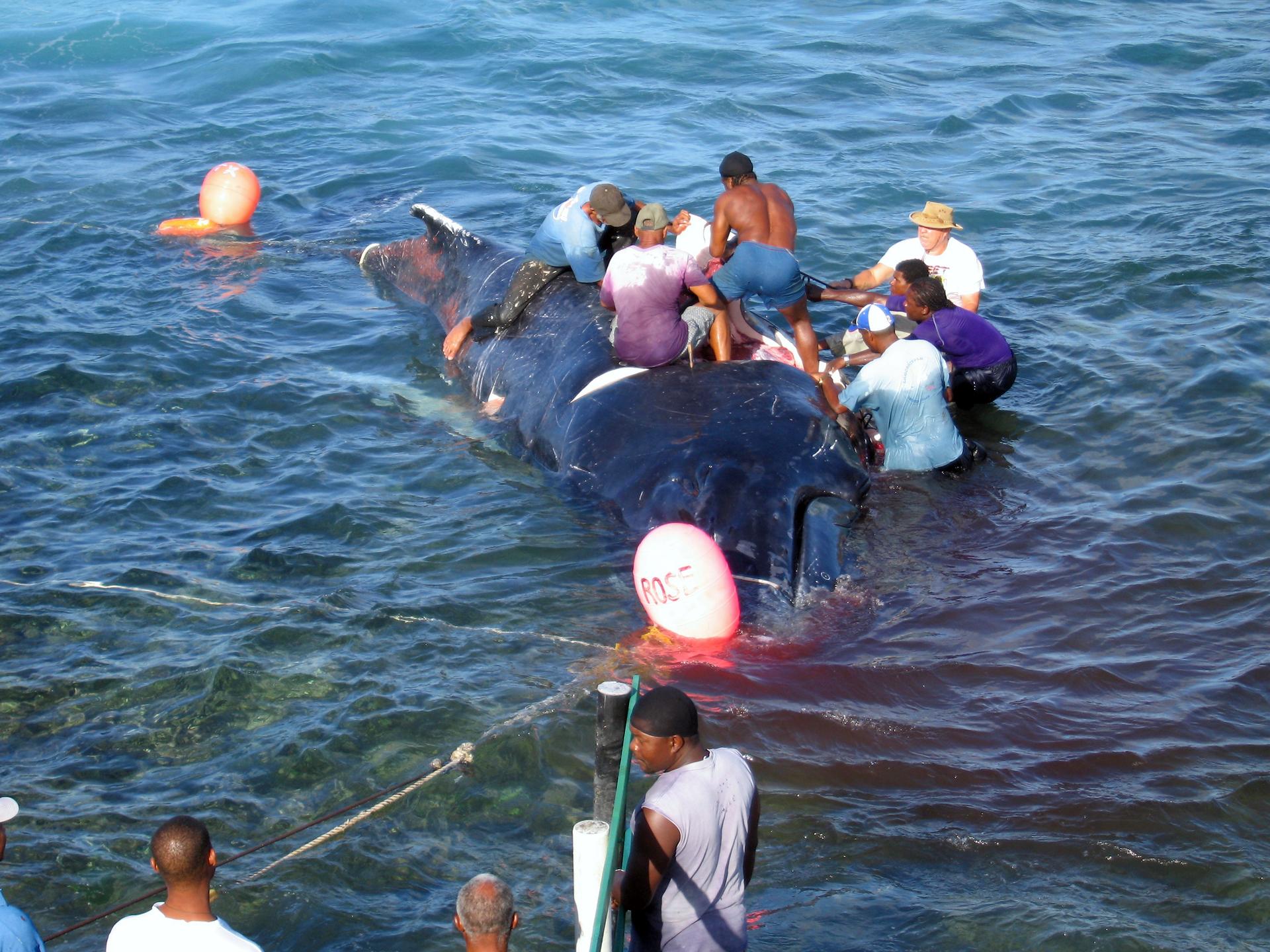 Fotografia prezentuje grupę mężczyzn wokół zabitego wieloryba leżącego wpłytkiej wodzie. Ciało zwierzęcia jest zanurzone, nad powierzchnię wody wystaje tylko jego grzbiet. Woda wokół wieloryba jest zabarwiona na czerwono od krwi zwierzęcia.