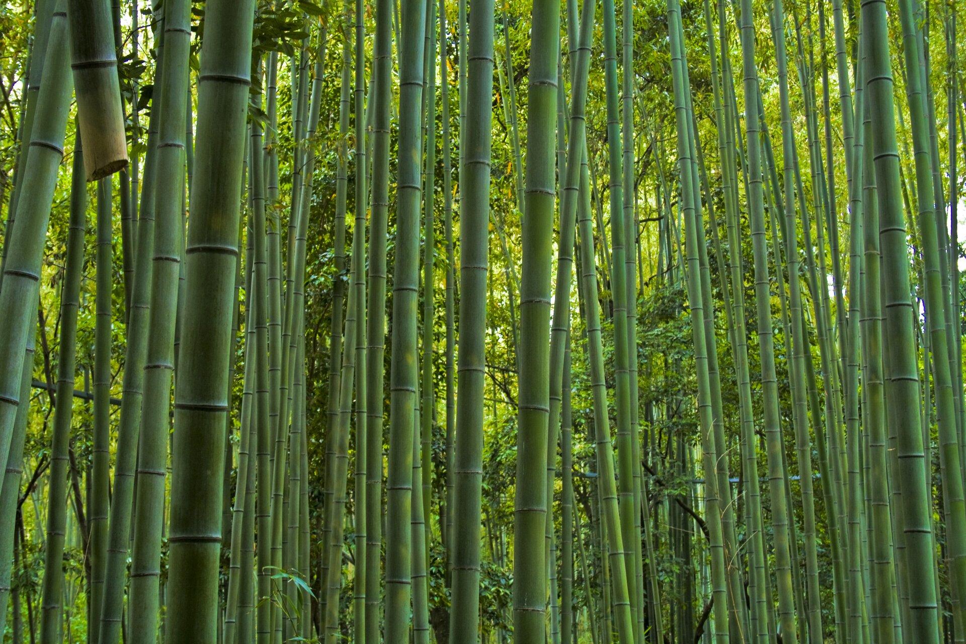 Fotografia przedstawia wnętrze zarośli bambusowych. Wiele zielonych, cienkich łodyg rośnie gęsto obok siebie. Wtle zielono – żółte bambusy zliśćmi.