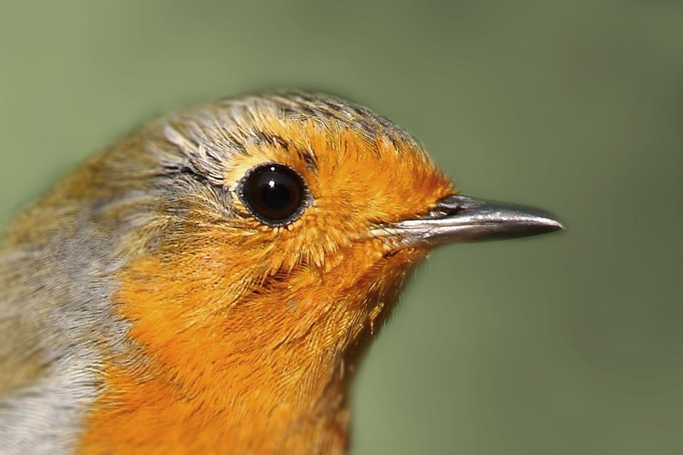 Fotografia przedstawia zbliżenie głowy pomarańczowo – szarego rudzika. Dziób wprawo, cienki, wąski, krótki.