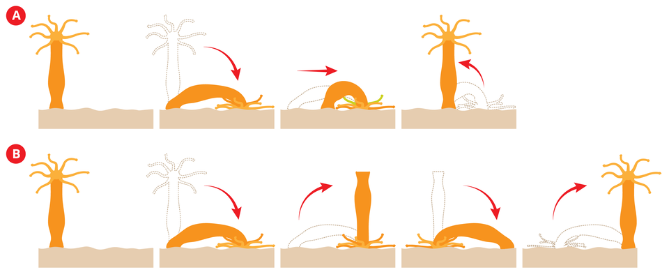 Ilustracja przedstawia dwa rzędy schematycznych rysunków stułbi pospolitej wkolorze pomarańczowym. Czerwone strzałki wskazują kierunek ruchu. Wgórnym rzędzie Aprzedstawiono fazy kroczenia stułbi. Pierwszy rysunek przedstawia wyprostowaną stułbię zramionami ugóry. Stoi na bladoróżowym podłożu. Kolejne rysunki ukazują przesuwanie się stułbi wnowe miejsce przy pomocy ramion iskurczu ciała. Rząd Bprzedstawia fazy ruchu stułbi, zwanego koziołkowaniem. Pierwszy rysunek przedstawia wyprostowaną stułbię zramionami ugóry. Kolejne rysunki ukazują oderwanie się stopy stułbi od podłoża. Stułbia stoi na ramionach do góry stopą. Końcowe ukazują kolejny przewrót, zpowrotem na stopę.