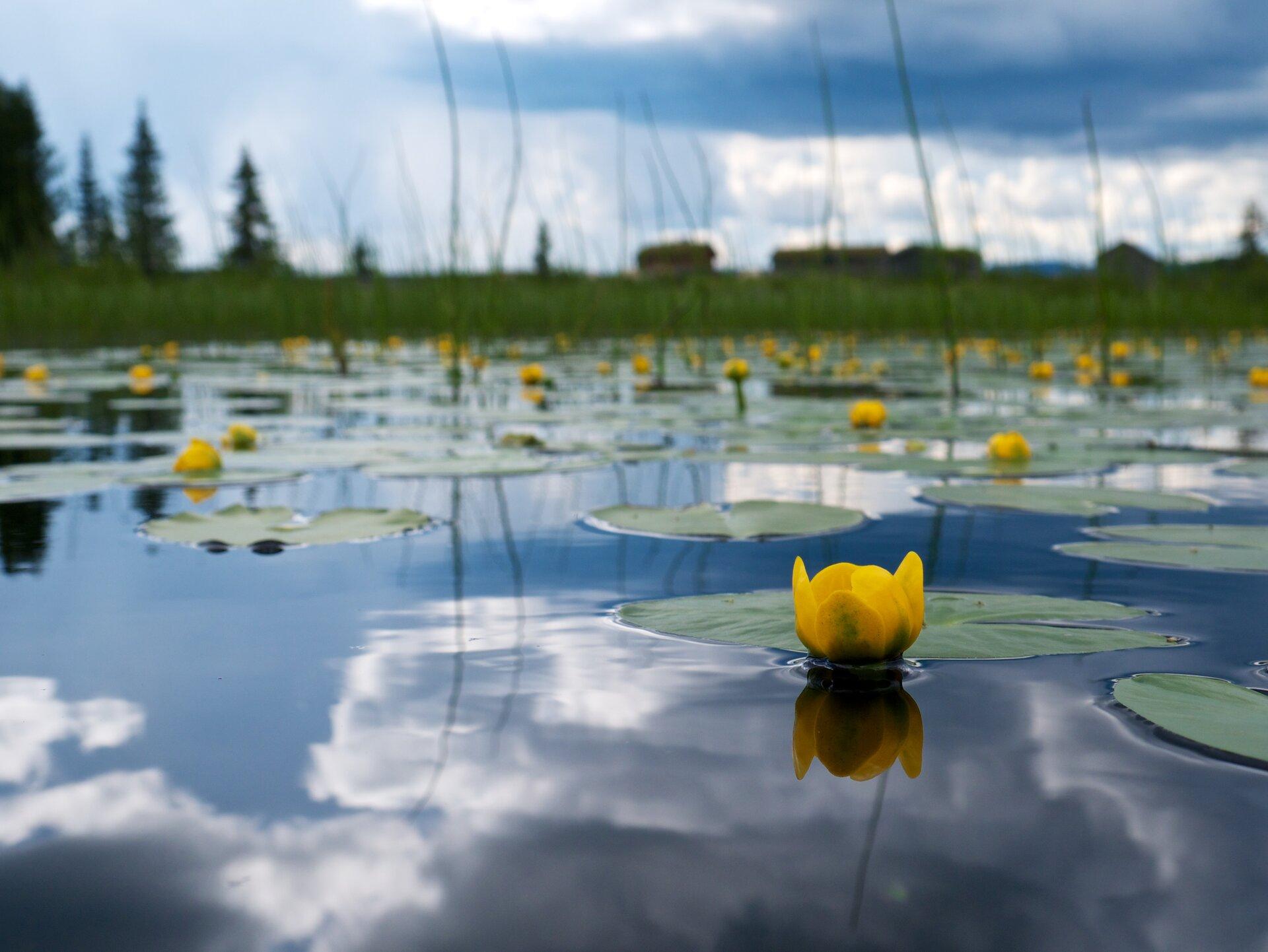 Fotografia prezentuje taflę jeziora, na której pływają żółte kwiaty grążela oraz ich okrągłe liście.