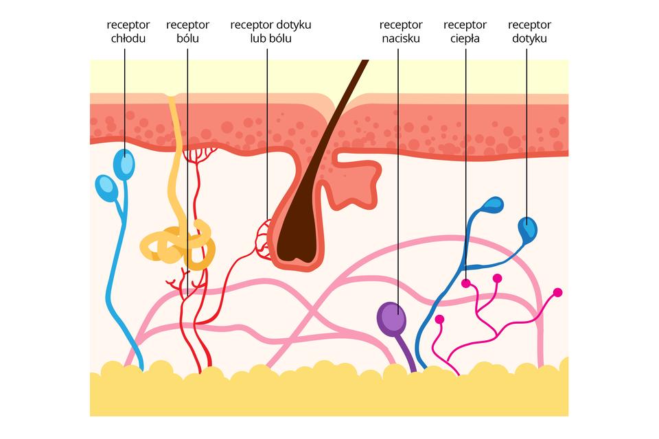 Ilustracja przedstawia przekrój przez skórę zbrązowym włosem. Ugóry koralowy naskórek. Udołu żółta warstwa tłuszczowa. Wskórze właściwej kolorami zaznaczono lokalizacją receptorów czucia. Od lewej turkusowe baloniki symbolizują receptor chłodu. Czerwone krzaczki przedstawiają receptor bólu. Przy cebulce włosa może to być receptor dotyku lub bólu. Fioletowy balonik symbolizuje receptor nacisku, niebieski to receptor dotyku. Różowe rozgałęzienia zkulką to receptory ciepła.