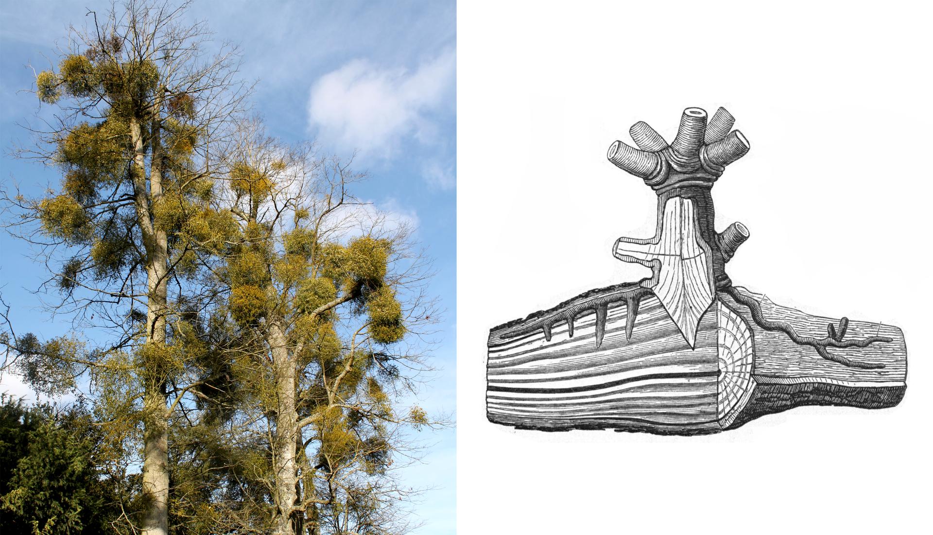 Ilustracja przedstawia jemiołę. Po lewej na fotografii ukazano dwa drzewa, których gałęzie są oblepione kulami jemioły. Po prawej rysunek przedstawia przekrój gałęzi drzewa, do której pod korę wrastają korzenie jemioły. Jemioła pobiera wodę ztkanek drzewa – gospodarza.