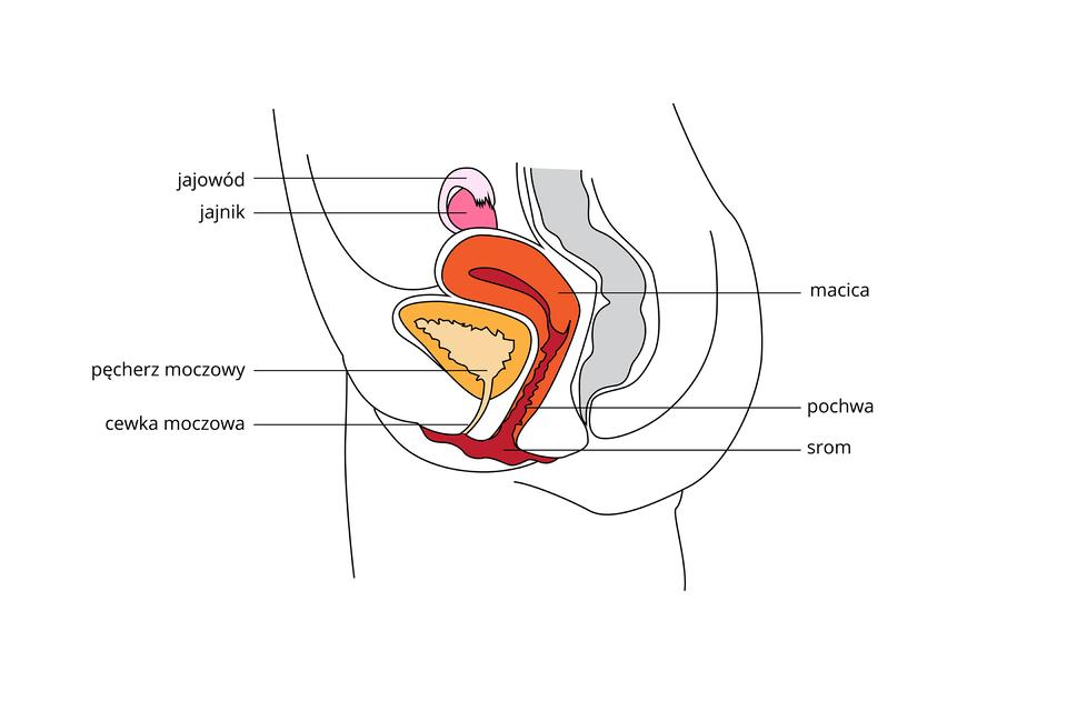 Wgalerii ilustracje, obrazujące budowę żeńskiego układu rozrodczego. Ilustracja przedstawia schematycznie pionowy przekrój przez dolną część tułowia. Przedstawiono wkolorach części układu rozrodczego żeńskiego iukładu moczowego. Ugóry różowy jajnik ina nim jajowód. Niżej pomarańczowa macica, przechodząca wbrązową pochwę isrom. Obok zlewej żółty pęcherz moczowy ibladoróżowa cewka moczowa. Zprawej szary zarys odbytnicy.