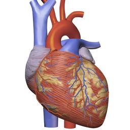 The build of the heart, cardiac cycle