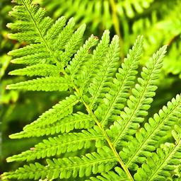 Skrzypy ipaprocie – rośliny wilgotnych środowisk