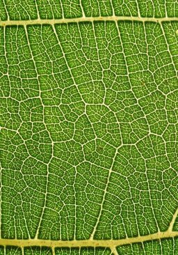 Internal structure of the leaf