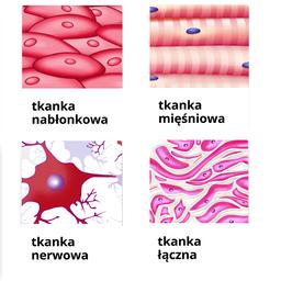 Tkanki budujące organizm człowieka