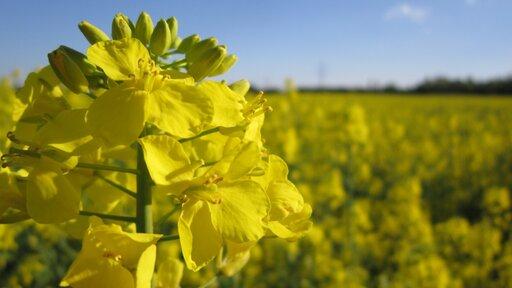 Rozmieszczenie upraw roślin oleistych na świecie