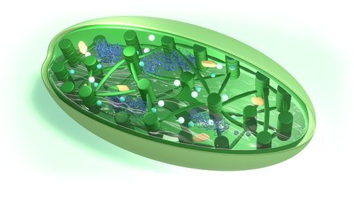 Mitochondria ichloroplasty – organelle półautonomiczne