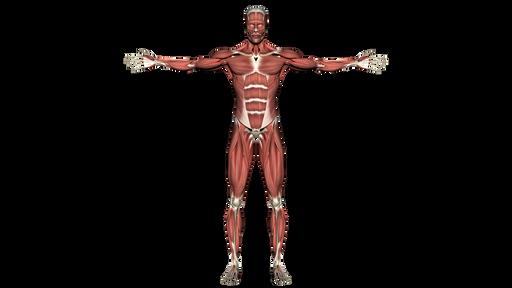 Mięśnie szkieletowe człowieka iich lokalizacja