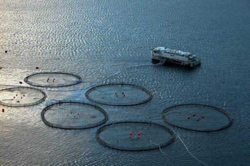 Łososie zakwakultury