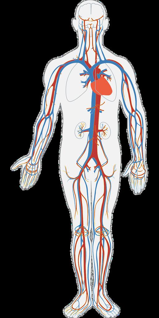 Budowa ifunkcje naczyń krwionośnych