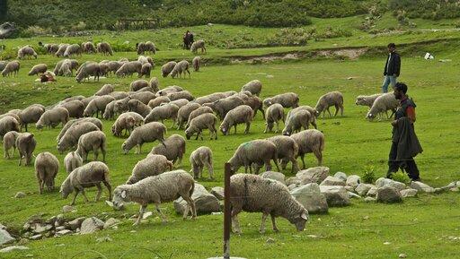 Cele hodowli owiec. Rozmieszczenie iwielkość pogłowia owiec na świecie