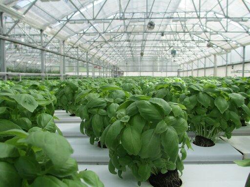 Czy należy się bać GMO?