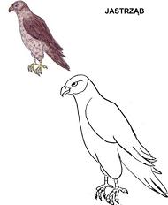 Poznajemy ptaki - jastrząb