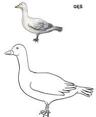 Poznajemy ptaki - gęś