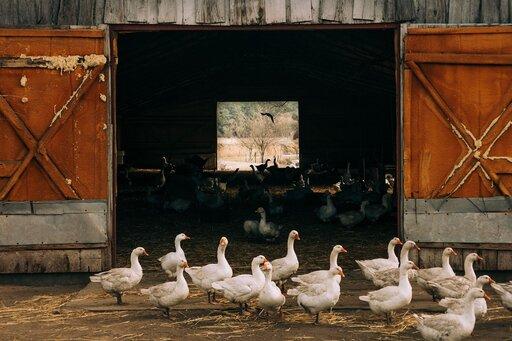 Wielkość irozmieszczenie produkcji mięsa drobiowego na świecie