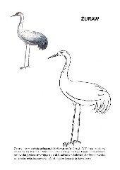 Poznajemy ptaki - żuraw