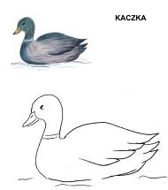 Poznajemy ptaki - kaczka