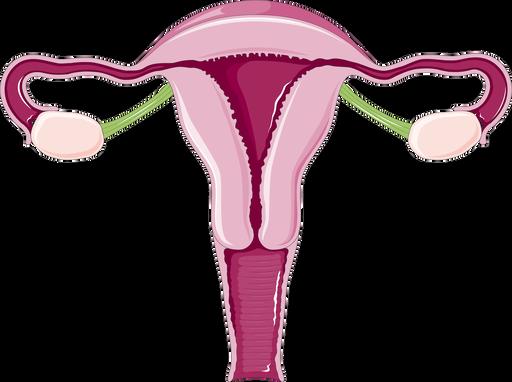Cykl jajnikowy imenstruacyjny – przebieg ikontrola hormonalna