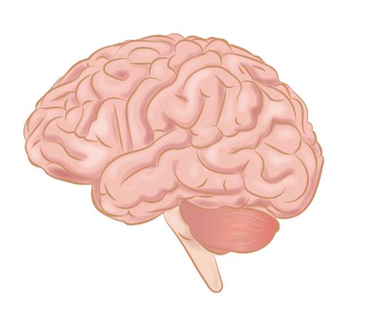 Anatomia mózgowia człowieka