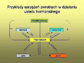 Przykłady sprzężeń zwrotnych wdziałaniu układu hormonalnego